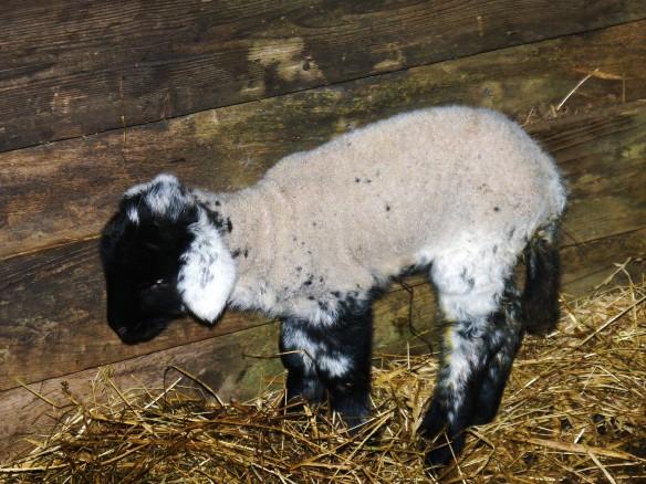 A wee lamb